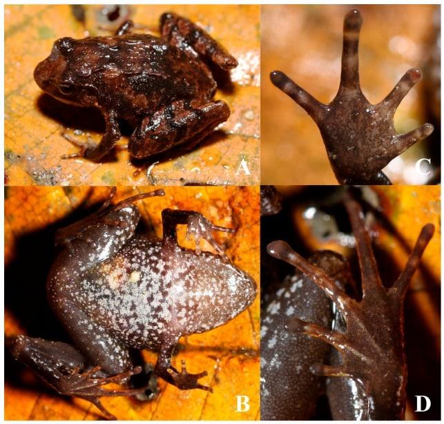 New Tibertan Frog Species, Liurana vallecula, Discovered And Described