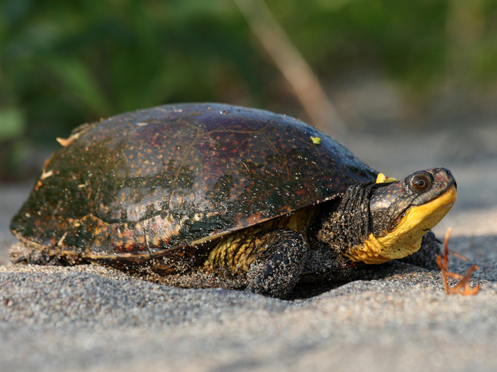 Blanding's Turtle Conservation Work Honored in Illinois