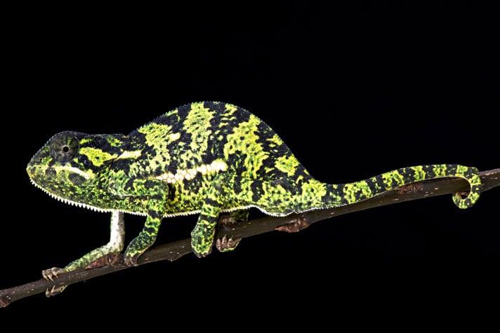 Flap-Neck Chameleon Care Sheet