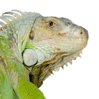 Why is My Iguana Walking in Circles?