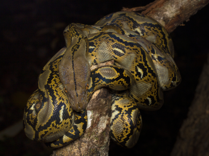 Why (And How) A Reticulated Python Managed To Consume An Indonesian Woman