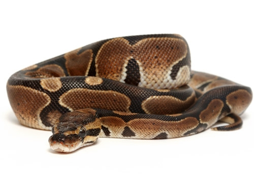 NY Woman Steals Ball Python From Petco, Crashes Into Firehouse During Getaway