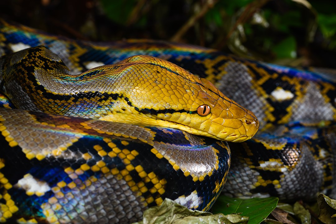 Arkansas To No Longer Issue Permits To Breed, Sell And Import Five Python Species