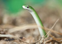 Chicago's Lincoln Park Zoo Releases 18 Smooth Green Snakes Into The Wild