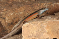 Three Australian Lizards Discovered And Described