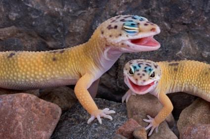 Leopard Gecko Eye Problem