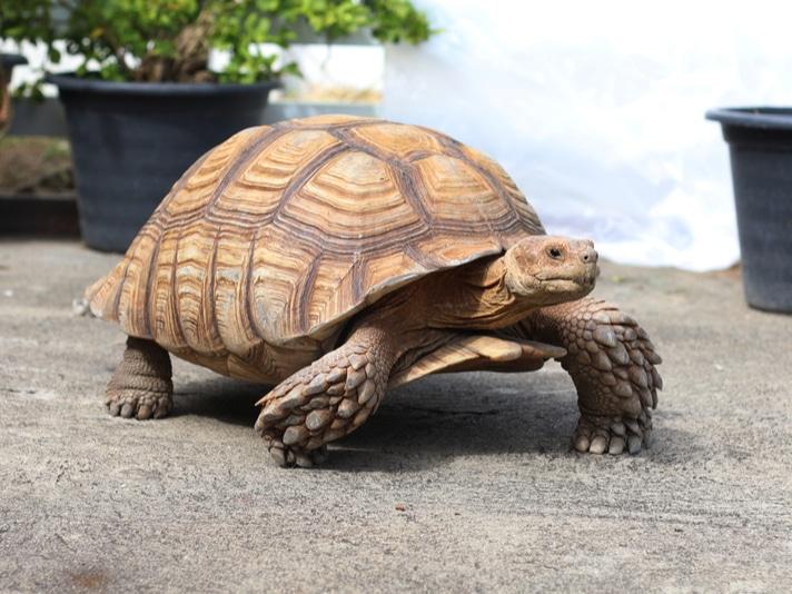 Trimming Tortoise Beaks