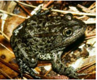 U.S. Fish And Wildlife Service Holds Public Hearing On Mississippi Gopher Frog