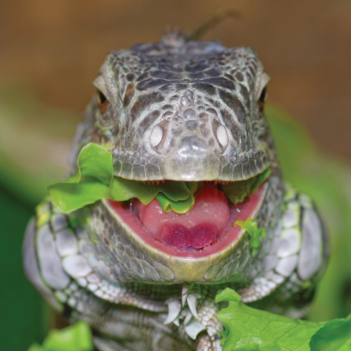 Caring For The Green Iguana