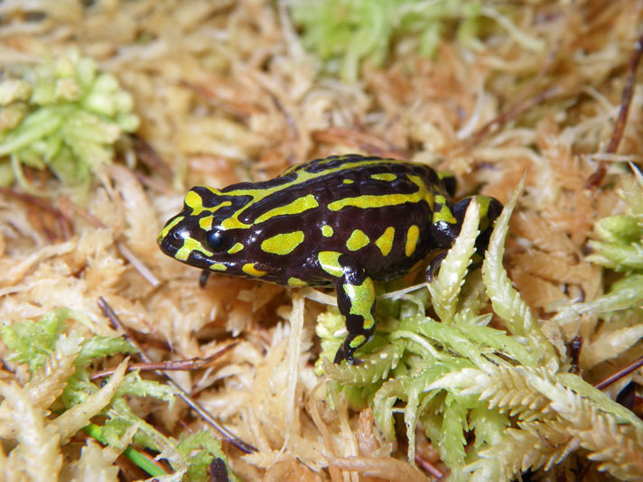 Captive-Bred Northern Corroboree Frogs To Be Released In Semi-Wild Enclosures