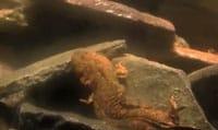Hellbender Salamander Exhibit Opens At Maryland Zoo
