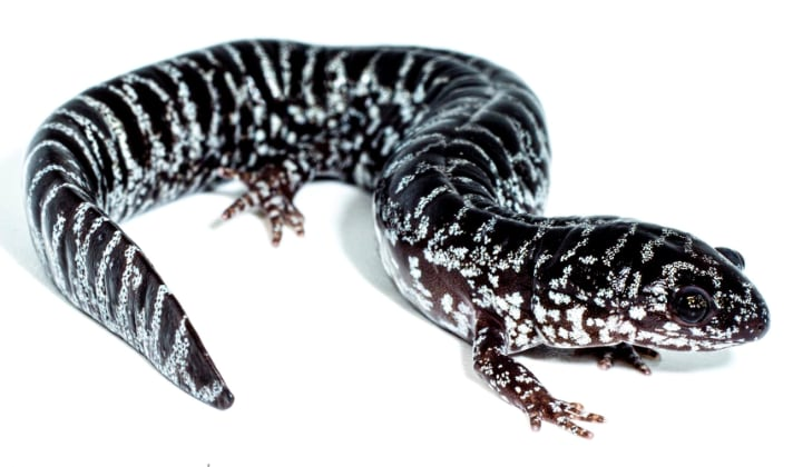 Reticulated Flatwoods Salamander Successfully Bred At San Antonio Zoo