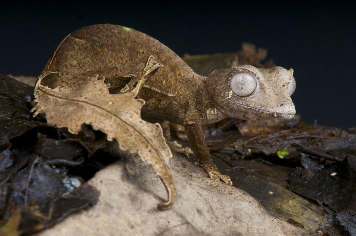 Satanic Leaf-Tailed Gecko Care Sheet