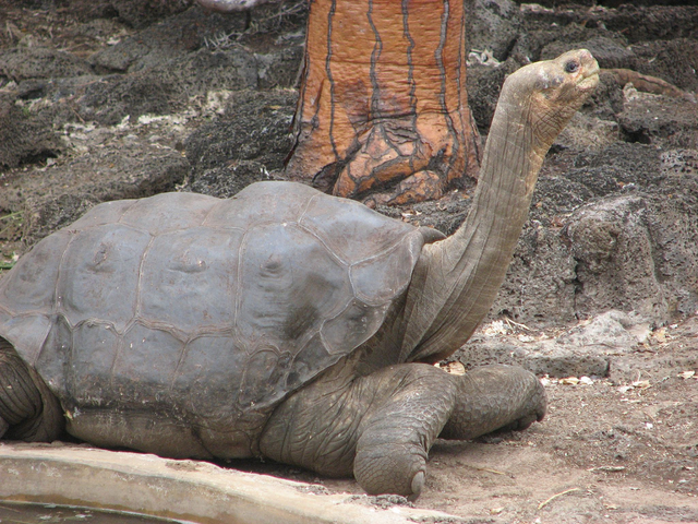 Pinta Island Tortoise Not Totally Extinct As Tortoise With 16 Percent Pinta Genes Discovered