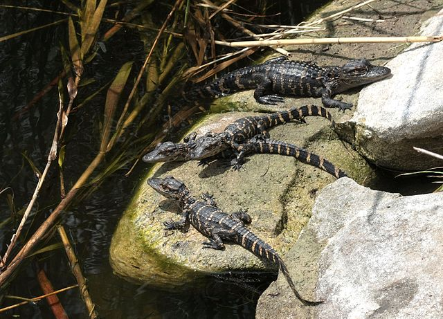 New Ordinance In Pittsburgh For Venomous Reptiles, Alligator and Crocodile Owners