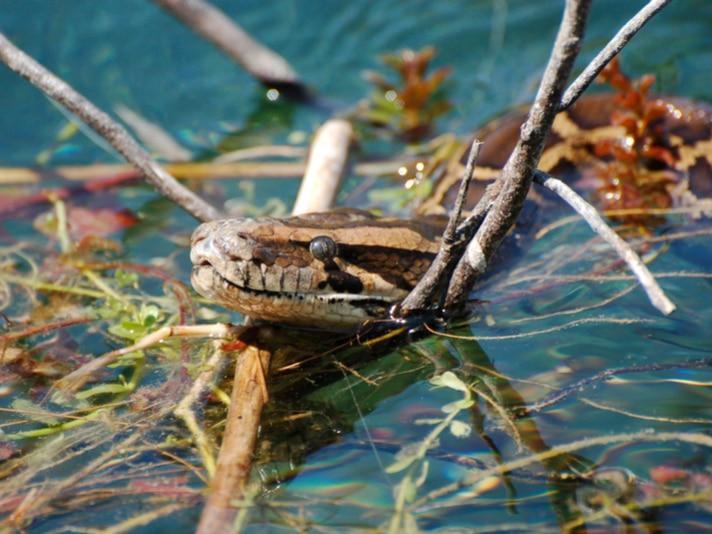 Video: Florida Python Hunters Save Alligator From Coils of Burmese Python