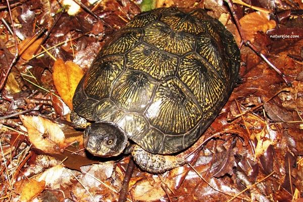 Wood Turtle Care Sheet