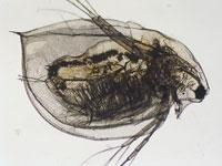 OSU Study Shows Daphnia Magna Eats Chytrid Fungus That Is Killing Frogs Worldwide