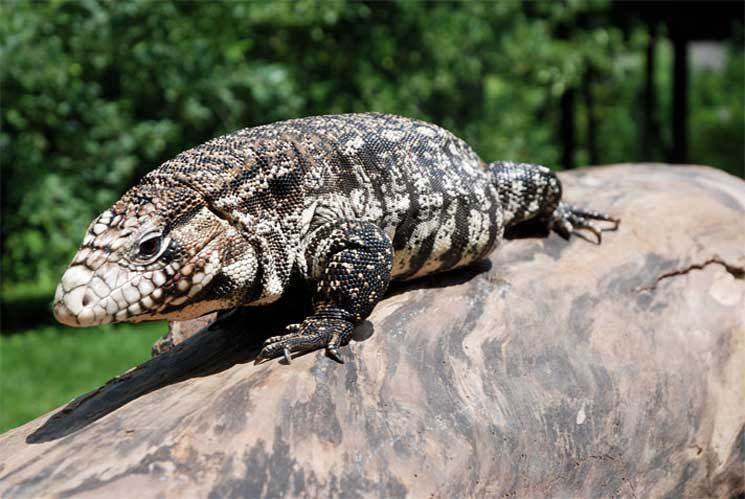 Is A Tegu Right For You?
