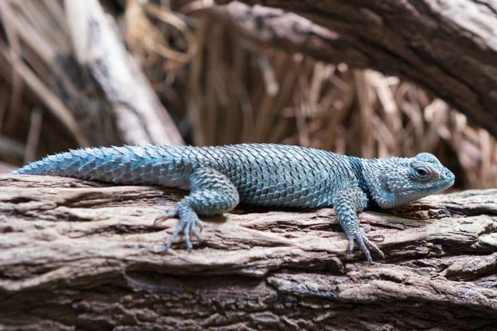 Blue Spiny Lizard Care Sheet