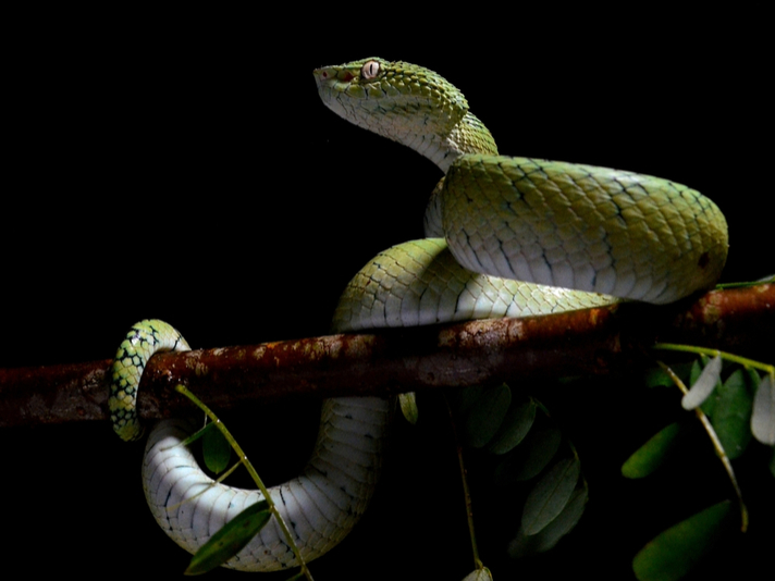 Pit Vipers Shipped From Philippines to Pennsylvania Found Dead at Post Office