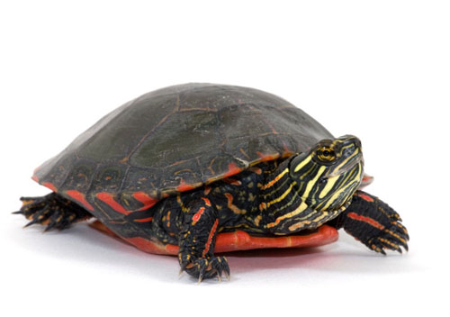Painted Turtle Care Sheet