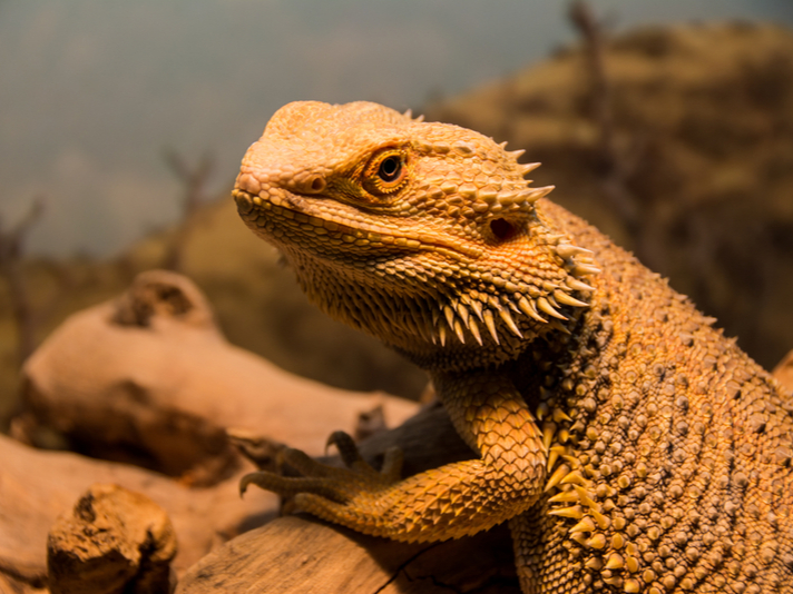 Bearded Dragon Found In Walmart Delivery Order Gets Adopted
