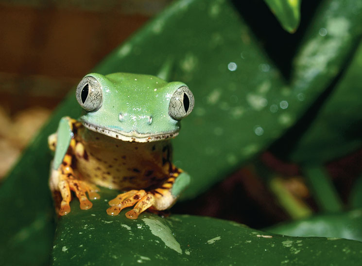 Tiger-Leg Monkey Frog Information And Care