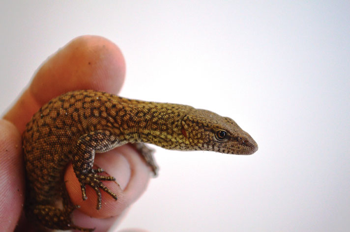 King's Dwarf Monitor Care And Breeding