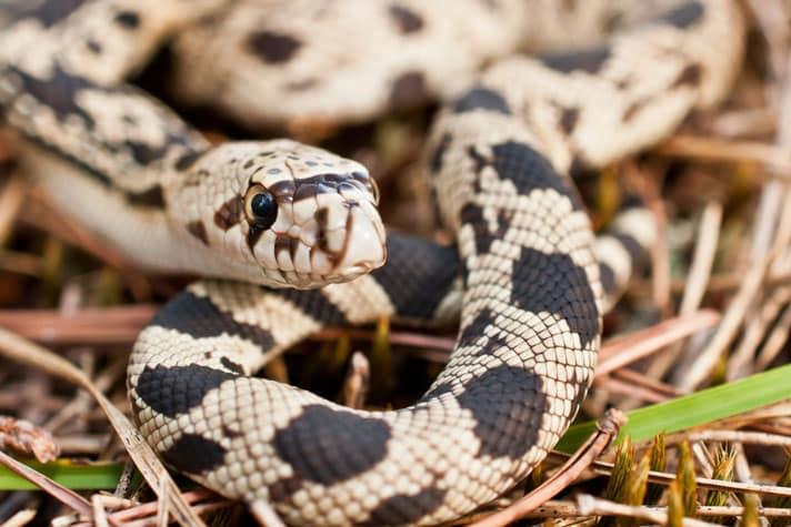 Pine Snake Care Sheet