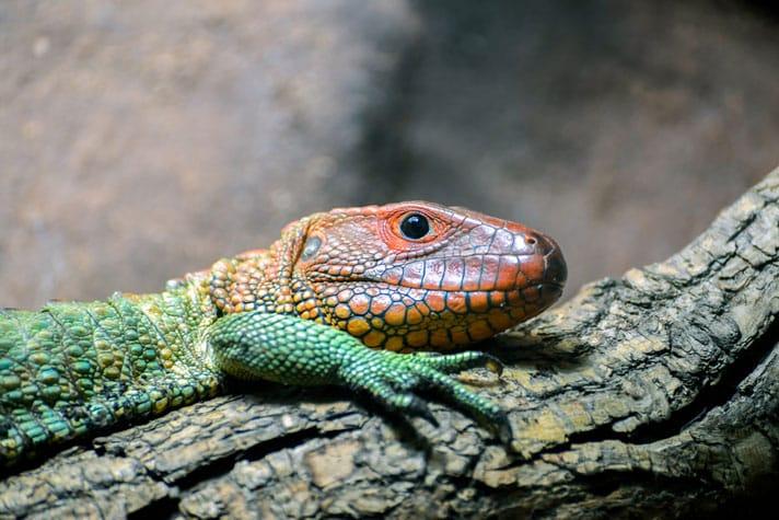 Caiman Lizard Care Sheet