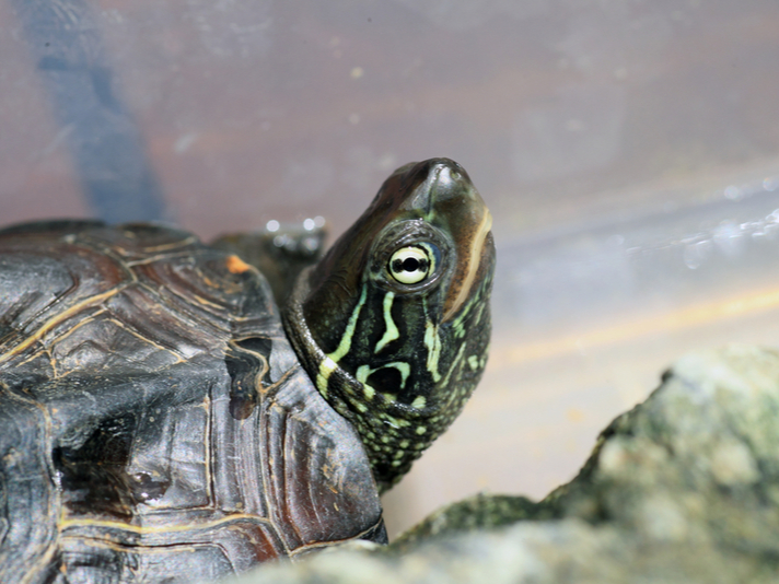 Reeve's Turtle Care