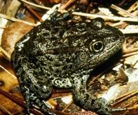 Louisiana Proposes Endangered Status For Mississippi Gopher Frog