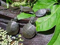 The Five Most Important Things To Do When Keeping Aquatic Turtles
