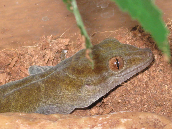 Golden Gecko Care Sheet