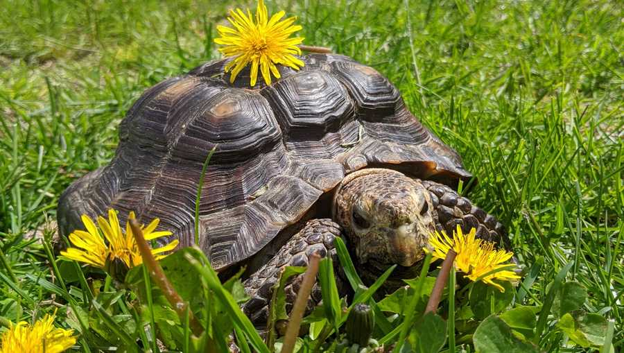 53-Year Old Tortoise Whose Owner Died of COVID19 Gets Adopted