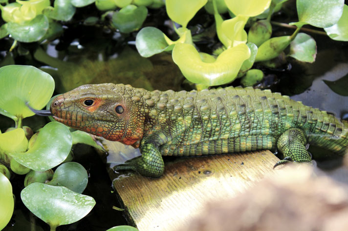 Caiman Lizard Care And Information