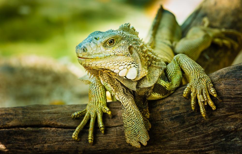 Iguana Lifespan And Proper Care