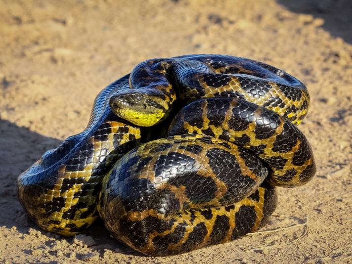 Yellow Anaconda Care Sheet