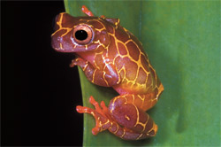 Clown Treefrog Care And Breeding