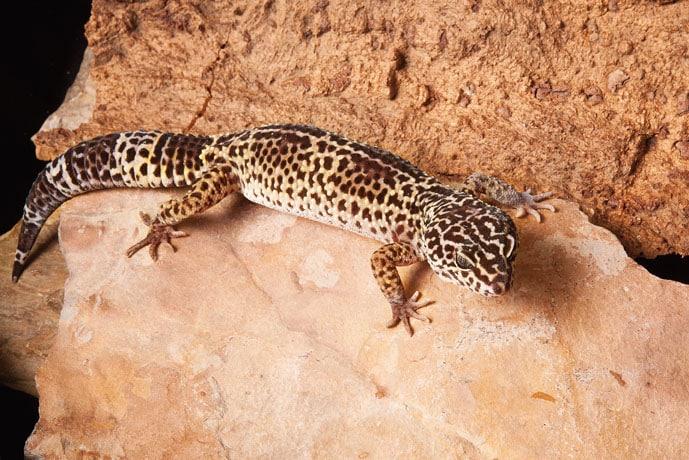 Leopard Gecko Lizards