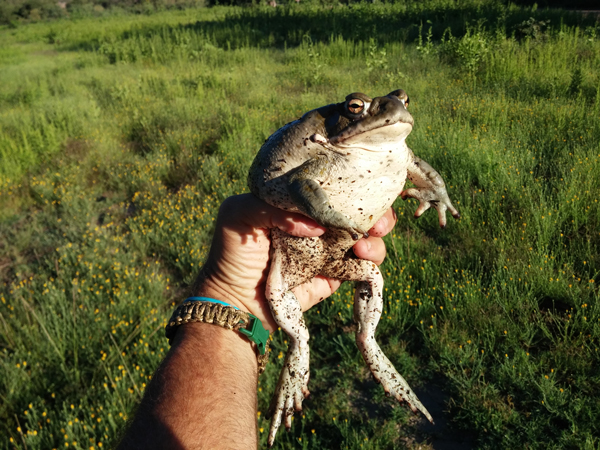 Natural History And Captive Care Of The Colorado River Toad