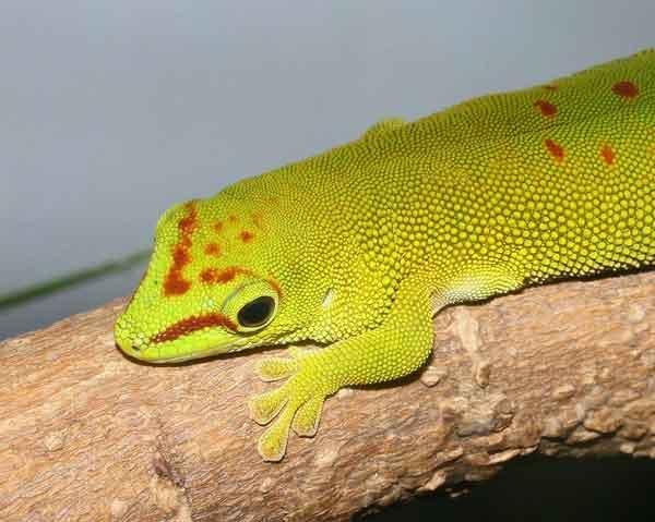 Choosing a Pet Gecko