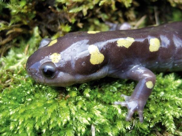 Natural History Of The Spotted Salamander