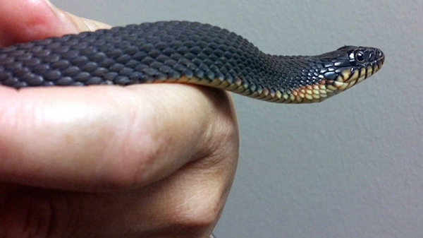 Yellow-Bellied Water Snake Gives Birth via Parthenogenesis
