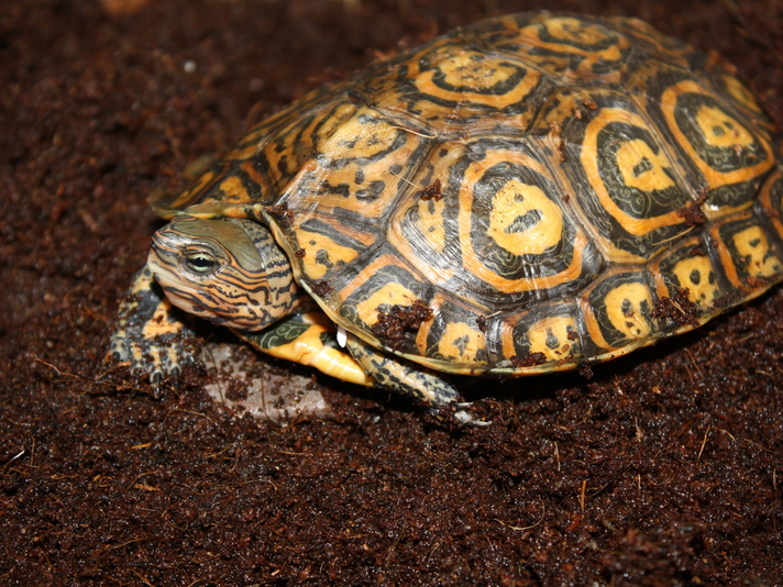 Captive Care And Breeding Of The Central American Ornate Wood Turtle