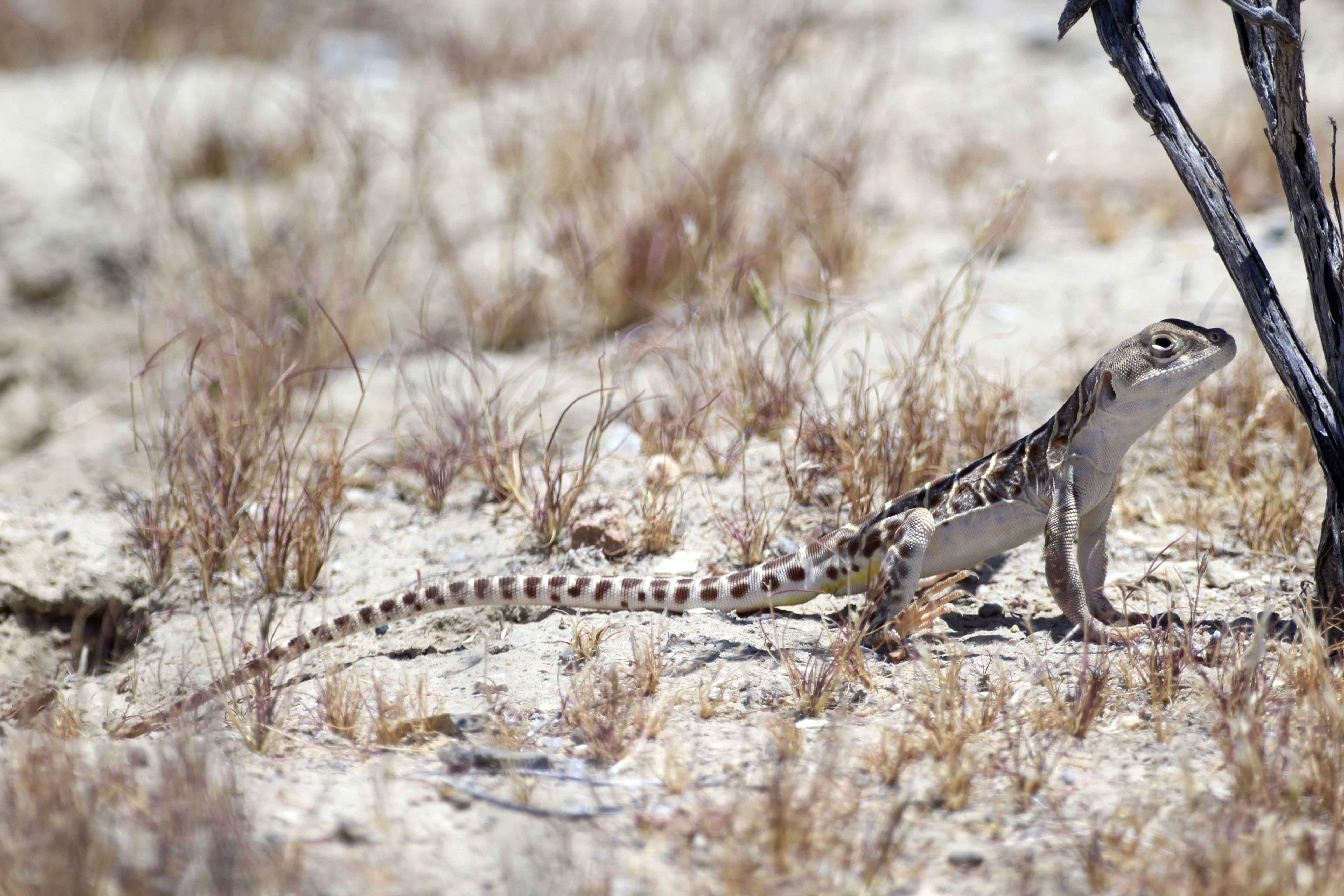 California's Blunt-nosed Leopard Lizard Threatened By Warming Planet, Study Says