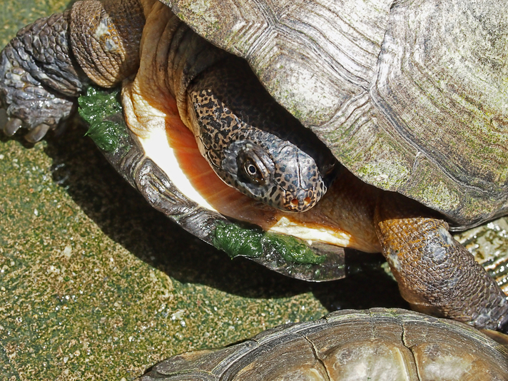 West African Mud Turtle Care Sheet