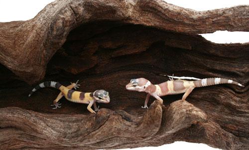 Herp Hides: Provide A Proper Reptile Hiding Place In Your Reptile Enclosure