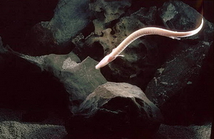 Cave Dwelling Olm Salamander Doesn't Move Much For Seven Years